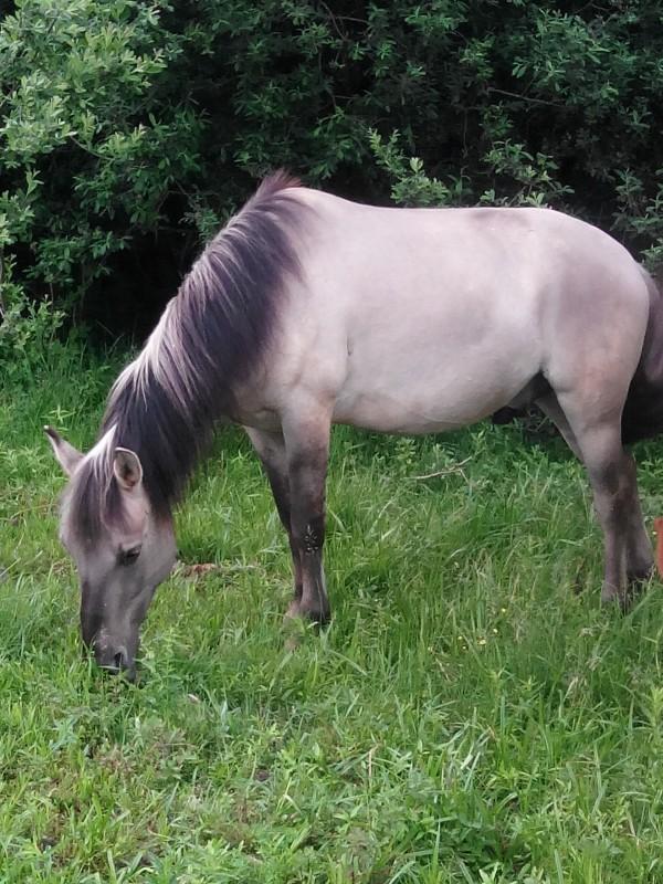 poney konik a vendre
