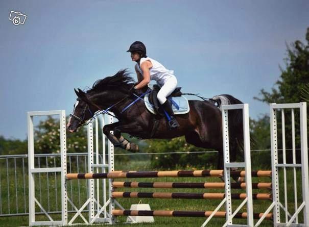 cheval arabe attelage