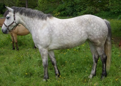 image cheval connemara
