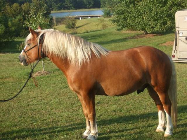 image cheval haflinger