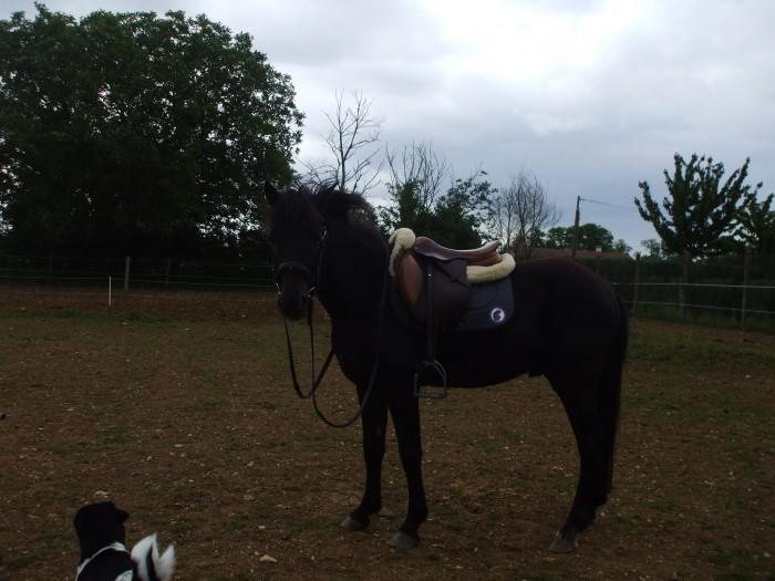 poney noir a vendre