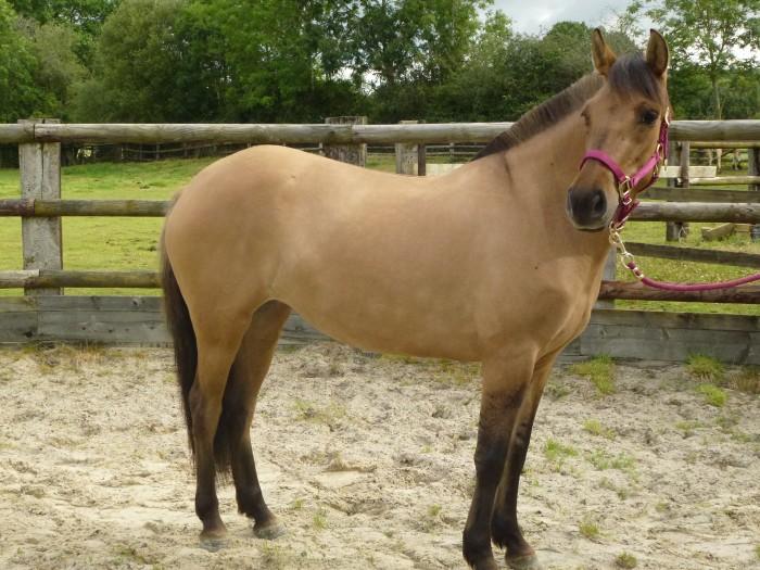 cheval espagnol croise arabe a vendre