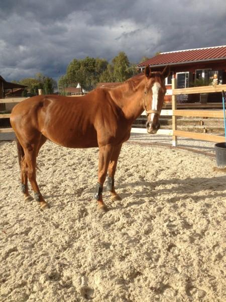 photo cheval maigre