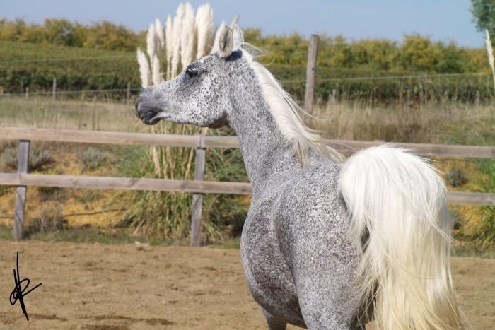 cheval arabe gris truite