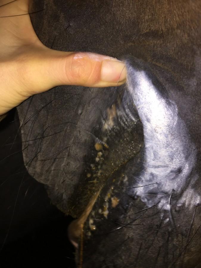 Aphtes bouche cheval causes et que faire for Interieur de la bouche