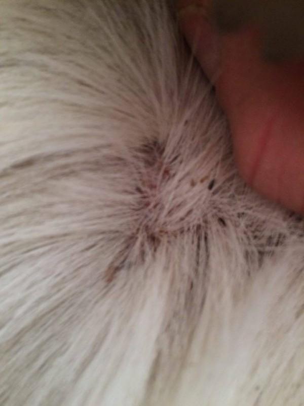 Les masques pour les cheveux du henné incolore les rappels