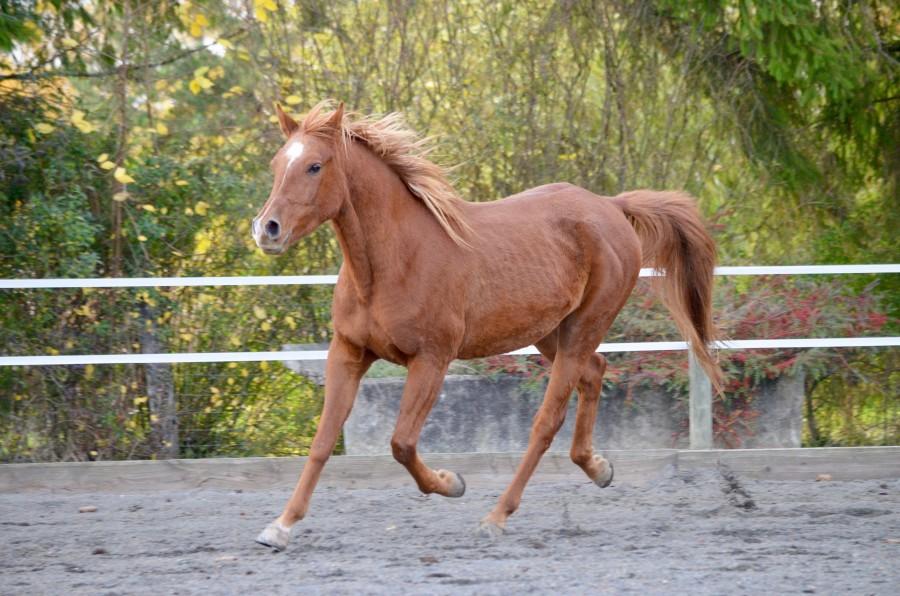 """Résultat de recherche d'images pour """"cheval alezan brulé"""""""